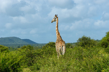 Giraffe in savanna, Kruger national park, South Africa