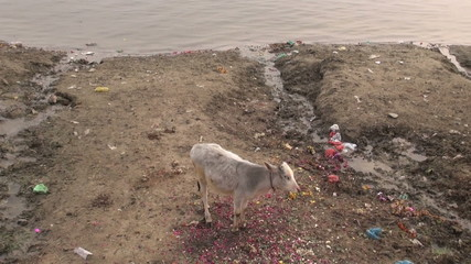 sacred young cow on polluted Ganges  coast and boats