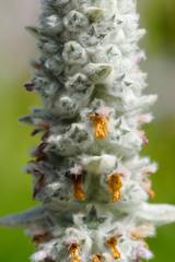 Lamb's Ear (Stachys Byzantina) Flowering Spike Close-Up