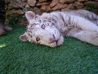 Cachorro de tigre albino