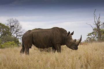 wild white rhinoceros in the bush, South Africa