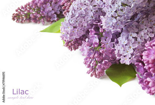 Lilac flowers bunch isolated on white