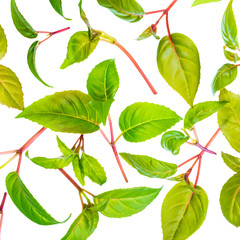 green leaves of seedling fuchsia is isolated on white background