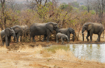 Herd of wild african elephants near a pond, Kruger