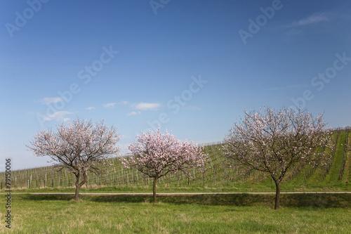 Mandelbaumblüte