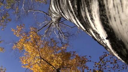 old big birch tree trunk in golden autumn forest