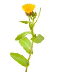 Calendula aegyptiaca