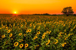 Midwest Sunflowers - 79155267