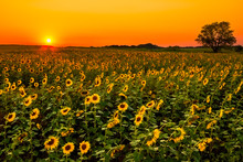 "Постер, картина, фотообои ""Midwest Sunflowers"""
