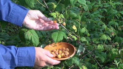harvesting gathering fresh sweet yellow raspberry in garden
