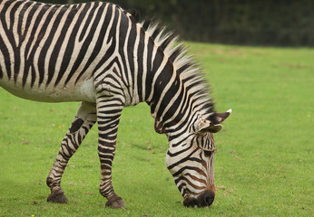 Grazing zebra 9577