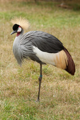 Crowned crane standing on one leg 9211