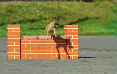 Belgian Shepherd in agility
