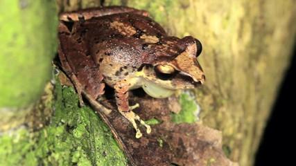 Male rain frog (Pristimantis achatinus) calling  at night