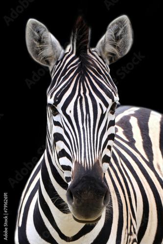 Zebra isolated on black - 79162691