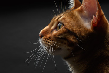 closeup bengal cat profile view