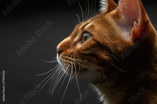 Foto op Plexiglas Kat closeup bengal cat profile view