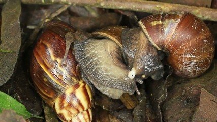 African Giant Snail (Achatina fulica), mating