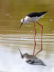 Female black winged stilt