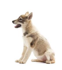 Siberian Husky puppy, side view