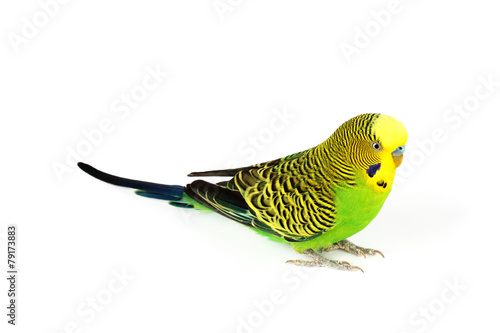 Foto op Plexiglas Papegaai Budgerigar isolated on white background
