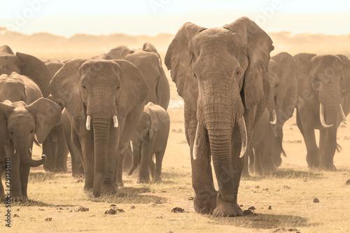 Poster Olifant Loxodonta africana, African bush elephant.