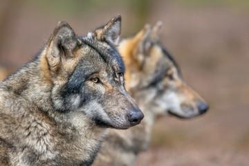 Portrait of two resting Grey Wolfs