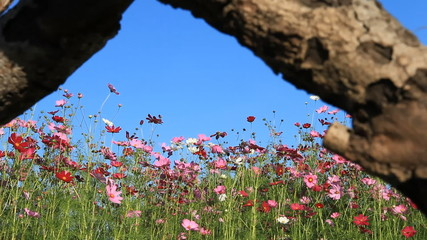 entering the pink cosmos flowers field, opening scene
