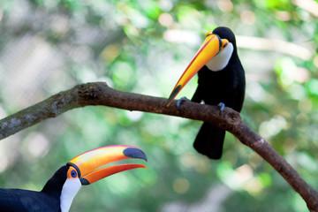 two brasilia toucan