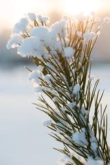 Christmas evergreen pine tree with fresh snow