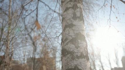 birch winter sun CU