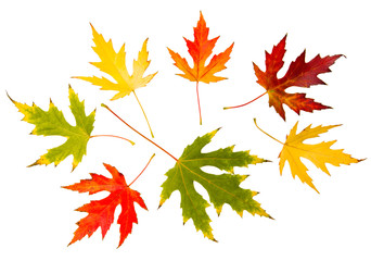 Seven high resolution autumn leaves of maple tree