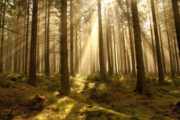 Lichtdurchfluteter Tannewald im Nebel