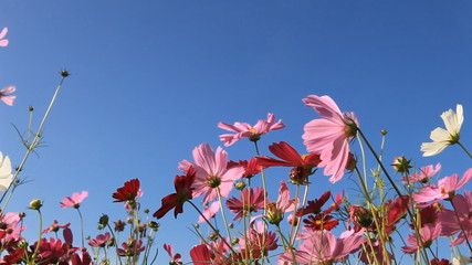 colorful cosmos flowers swaying in the heavy wind, dolly