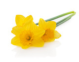Yellow daffodils isolated on white background. Easter card with