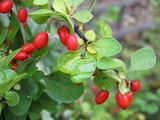 Cultivar Berberis thunbergii ripe berries in the autumn garden poster