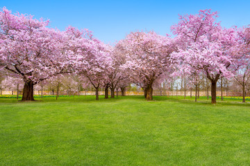 Kirschbäume im Garten mit Textfreiraum