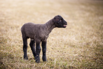 Lonely baby lamb calling for its mom