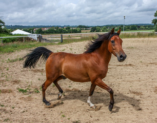 Chestnut brown horse trotting in a manege ring.