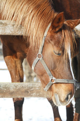 Side view portrait of a beautiful young mare in winter corral
