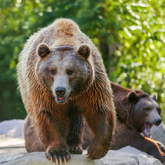Grizzly brown bear looking forward, front view