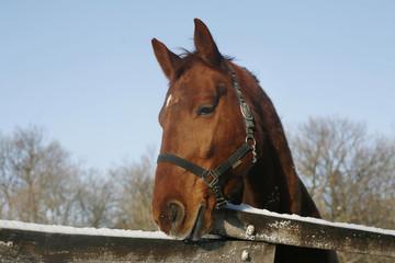 Head of a beautiful purebred chestnut stallion in winter corral