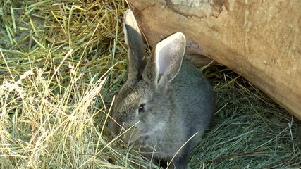 The video shows Mammals-rabbit, family of lagomorphs