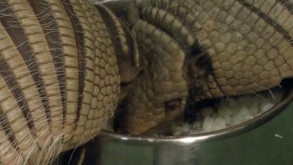 The video shows Mammals-armadillos, Shestipoyasny Battleship