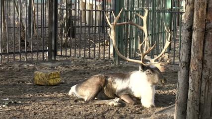 The video shows Mammals-Reindeer (Rangifer tarandus)