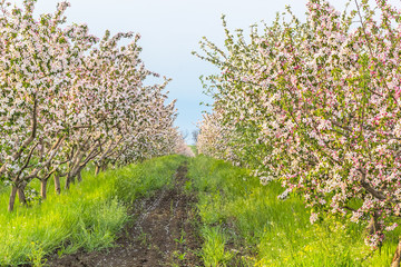 Blossoming apple orchard in May evening