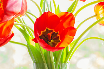 Bouquet of red tulips close up, backlit