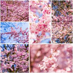 Beautiful pink cherry blossom (Sakura)