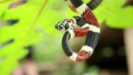 Rare snake (Rhinobothrium bovalli) from Western Ecuador