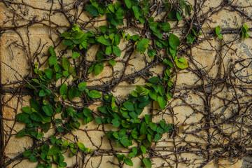 Green ivy horizontal